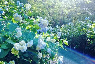 2020年 鎌倉紫陽花だより ~ブルーに染まる明月院~