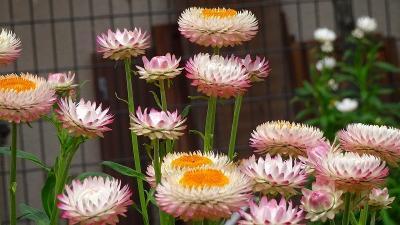 近くに、フェイジョアと泰山木の花を探して その4完。