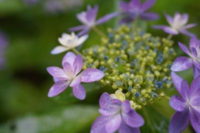 20200611-1 大阪 鶴見緑地公園、花の谷の紫陽花