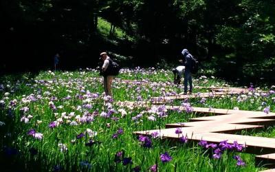 花菖蒲めぐり 県立四季の森公園、馬場花木園