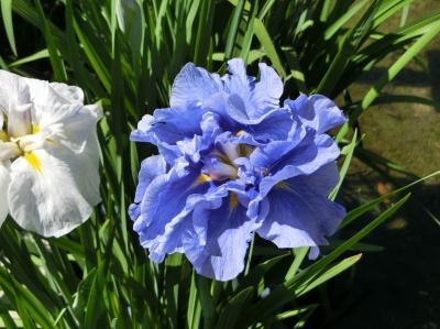 梅雨入り直前の青空に誘われて、大阪万博記念公園 「日本庭園~花しょうぶ田」をぶらぶら散歩。(2020)