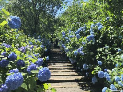 梅雨入り前の鎌倉散歩:(1)明月院ブルー