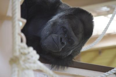 東山動物園 人気者のシャバーニ
