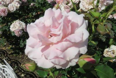 2020春、庄内緑地公園のバラ(1/9):5月29日(1):ブライダル・ホワイト、ピンク・フレンチレース、マチルダ、オクラホマ