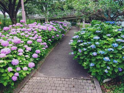 6月12日の清水ケ丘公園の紫陽花