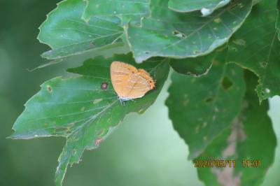 森のさんぽ道で見られた蝶(35)アカシジミ、ウラナミアカシジミが沢山見られました