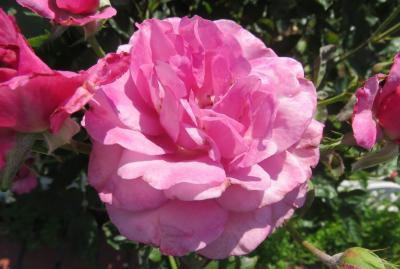 2020春、庄内緑地公園のバラ(2/9):5月29日(2):レッド・ピノキオ、ショッキング・ブルー、メルヘン・ケニギン、ファンタジア