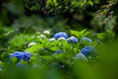 康徳寺(koutokuji) の紫陽花