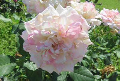2020春、庄内緑地公園のバラ(4/9):5月29日(4):クチュールローズ・チリア、ラ・マリエ、トラモント・エスティーヴォ、ミルフィーユ