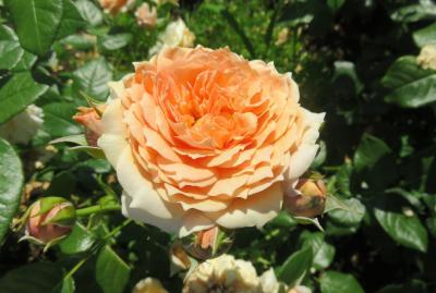 2020春、庄内緑地公園のバラ(5/9):5月29日(5):ダフネ、プリンセス・クレア・ドゥ・ベルジャック、ミコル・フォンターナ