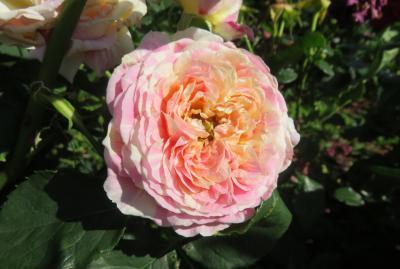 2020春、庄内緑地公園のバラ(6/9):5月29日(6):クロード・モネ、アレゴリー、レジス・マルコン、琴音、アスピリン・ローズ