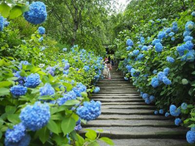 浮遊する青の世界 明月院のあじさい