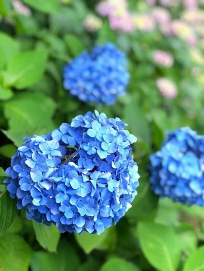 待ち焦がれた温泉へ エクシブ湯河原離宮 見ごろの花しょうぶと鎌倉明月院ブルー