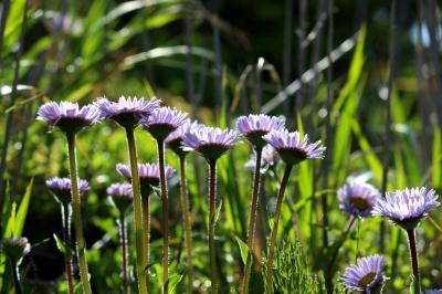 ◆猪苗代湖・初夏の湖南・野の花巡礼