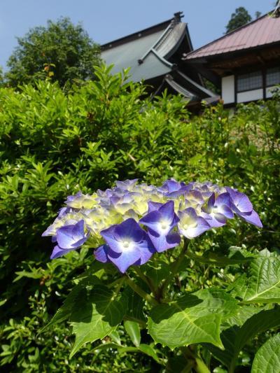「大中寺」のアジサイ_2020_咲き始め、見頃間近です(栃木市・大平町)