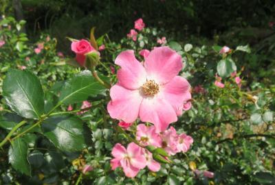 2020初夏、東山植物園のバラ(1/9):6月2日(1):星ヶ丘門、薬草の道、也有園、奥池、水車、合掌造り、バラ園、ピンク・ヘイズ