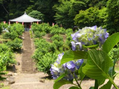 「清水寺」のアジサイ_2020_あじさい寺と言うほどではないが咲き始めています(栃木市・大平町)