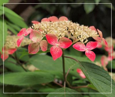 自宅で鑑賞「赤い山紫陽花」ほかアジサイいろいろ・・・♪