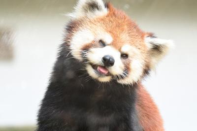 レッサーパンダはかわゆい !!!  池田動物園 2