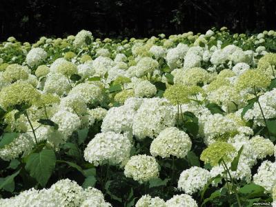 アナベルの白い花が輝くアジサイ園@相模原北公園