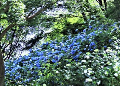 2020年6月、神戸市立森林植物園の紫陽花!