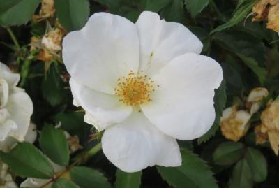 2020初夏、東山植物園のバラ(4/9):6月2日(4):ホワイト・ノックアウト、プリンセス・ミチコ、マサコ、プリンセス・ドゥ・モナコ