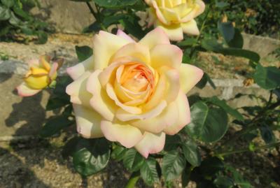 2020初夏、東山植物園のバラ(7/9):6月2日(7):クリスチャン・ディオール、オーナー・ドゥ・バルザック、ピース