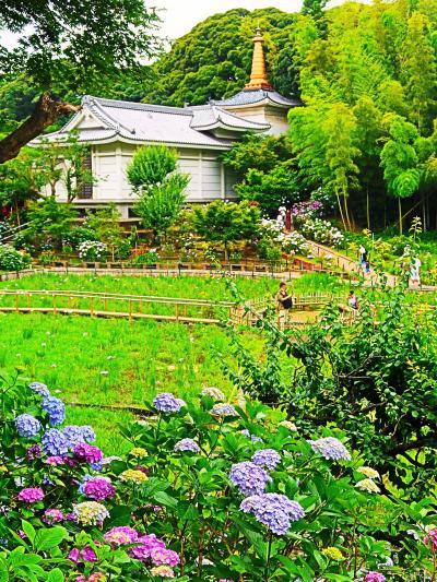 長谷山本土寺-2 あじさい寺-アジサイ1万株見ごろ ☆境内の紫陽花-10種類以上も
