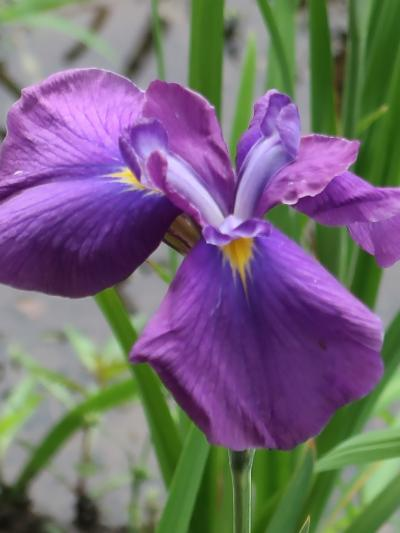 長谷山本土寺-3 ハナショウブ園 花咲く-復活に期待し ☆スギナの侵入にご苦労多く