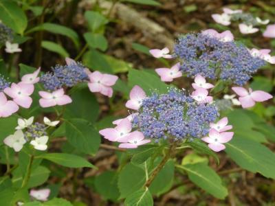 週末ちょこっと散歩 神戸森林植物園で今年2度目のアジサイ鑑賞