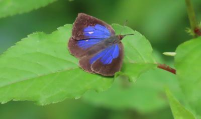 森のさんぽ道で見られた蝶(39)ムラサキシジミ、ツバメシジミ、キチョウ、ミヤマセセリチョウ他