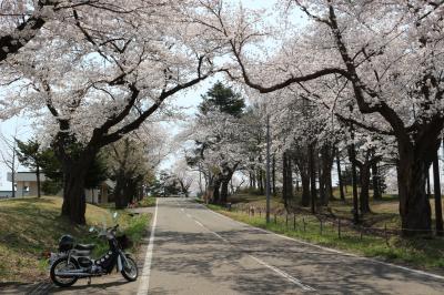 2020  カブ散歩 桜