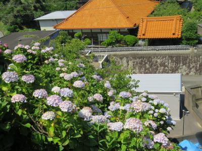旅再開の初めは県内へ~大王崎の紫陽花と横山展望台~