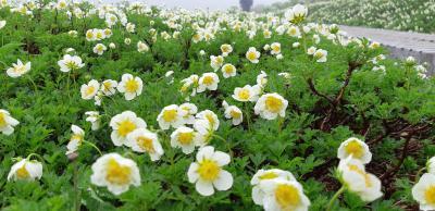 秋田駒ケ岳ムーミン谷は満開の花