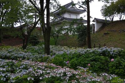 世界遺産 元離宮二条城の西南隅櫓辺りに初お目見えの紫陽花園