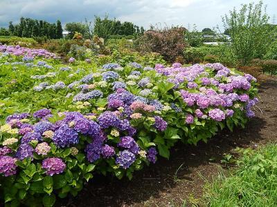所沢市南永井付近の風景・・美しいアジサイの花畑