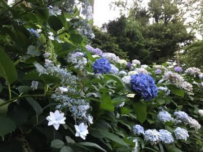 埼玉・大谷場氷川神社の紫陽花2020