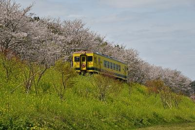 いすみ鉄道沿線の桜と菜の花