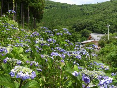 「吉祥寺」のアジサイ_2020_見頃終盤、花が減った印象です(栃木県・足利市)