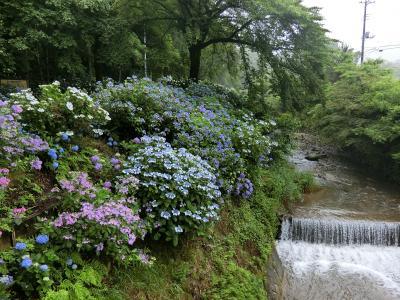 紫陽花に導かれて渋川