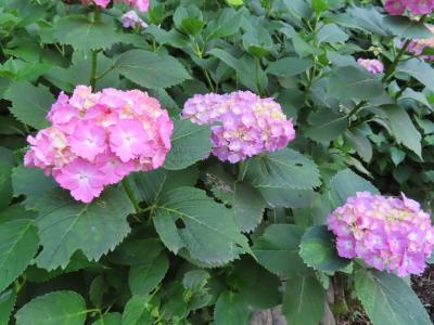 再び、六本杉公園の紫陽花 八王子 2020/06/09