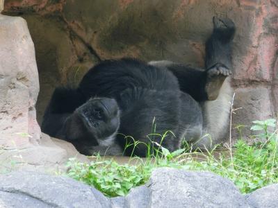 千葉市動物公園で、イケメンゴリラのファンになる