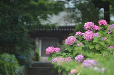 紫陽花の咲く泉谷寺参道