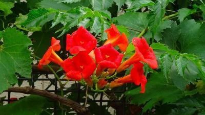昆陽南公園に咲く、アーティチョークの花を見に出掛けました その1。