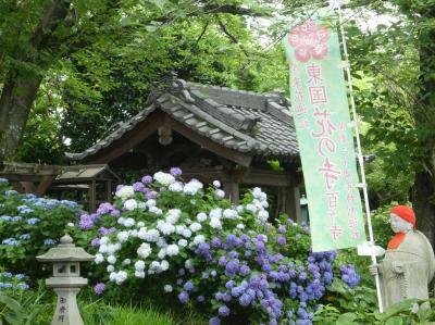 「常楽寺」のアジサイ_2020_見頃は、まだ続いています(群馬県・太田市)