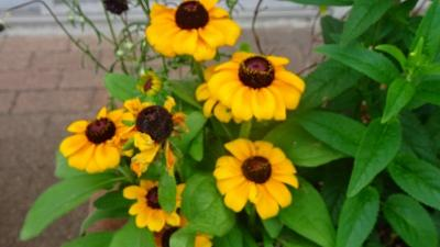 昆陽南公園に咲く、アーティチョークの花を見に出掛けました その3。