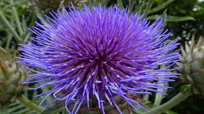 昆陽南公園に咲く、アーティチョークの花を見に出掛けました その5完。