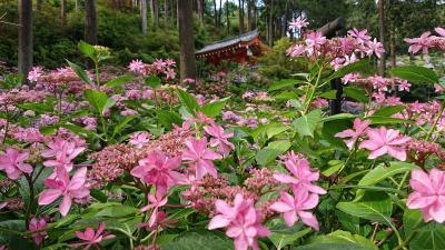 県をまたぐ移動の自粛解除直後の京都/嵐山の竹林と、三室戸寺の紫陽花を楽しむ~三室戸寺編