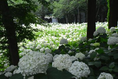 鎌倉をしのぐ紫陽花の名所 200種類、10000株の紫陽花 一面に咲く真っ白なアナベルは見事でした!