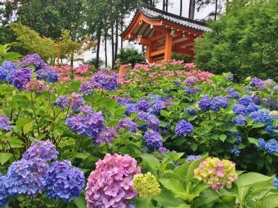 満開のあじさい園&新緑の東福寺へ初夏の京都を満喫♪